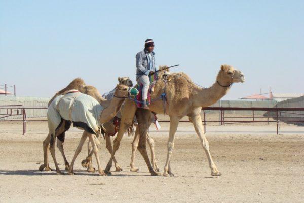 camel-racing-doha-780x585