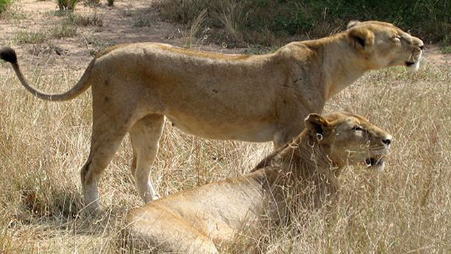 lions in East Africa