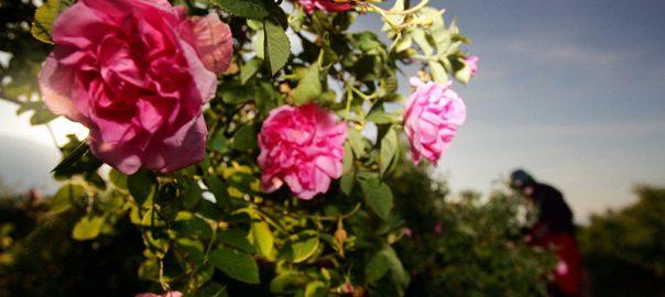 rose in bulgaria