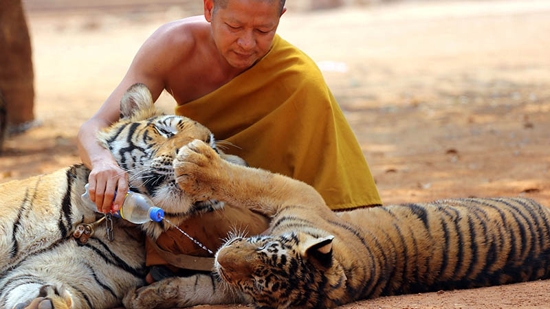 Thailand Tiger