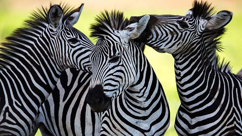 حسات وحش آفریقای جنوبی