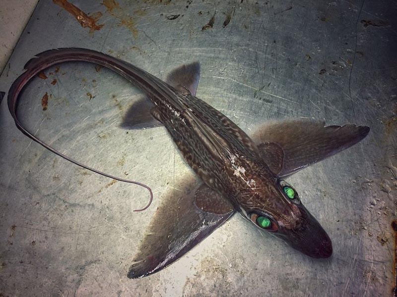 نوعی ماهی شکار شده دریا