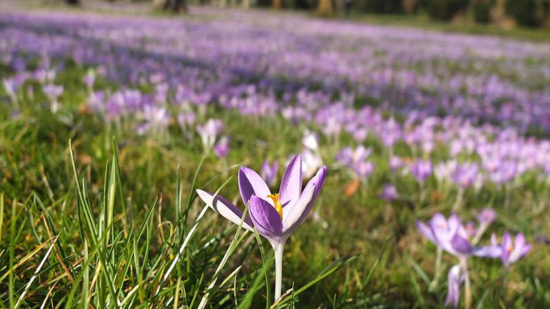 گل های زعفران