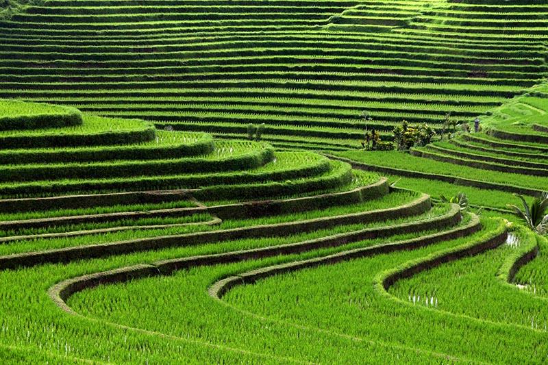کشاورزی در لومبوک