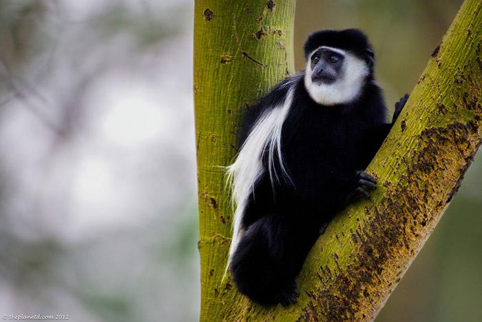 موجودات درختی کنیا