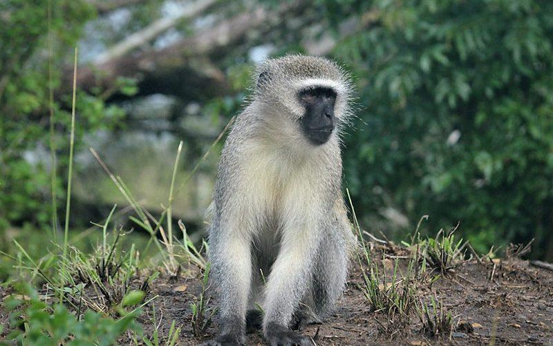 میمون آفریقایی