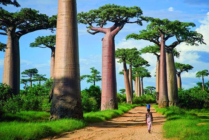 زیباترین مکان های روی زمین   درختان بائوباب
