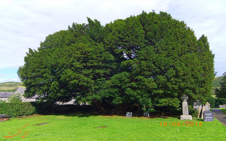 درخت سرخدار Llangernyw