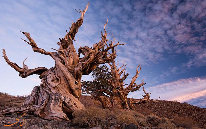 درخت Methuselah