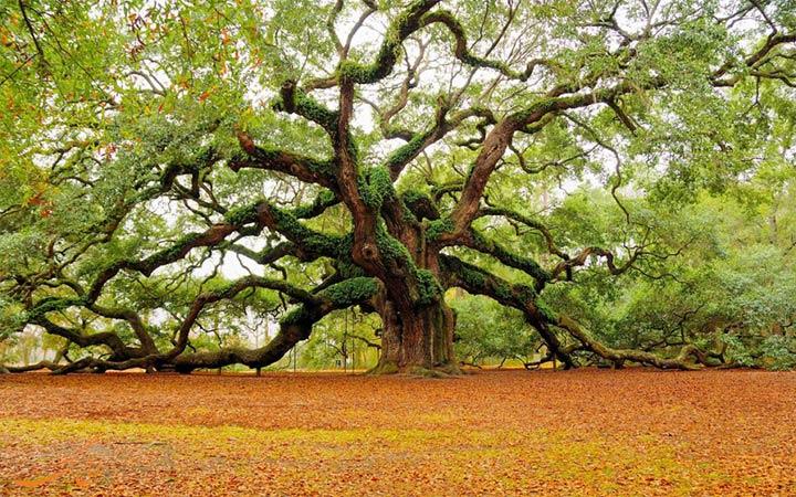 درخت قدیمی