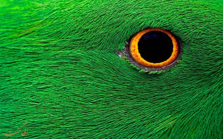 پرنده سبز