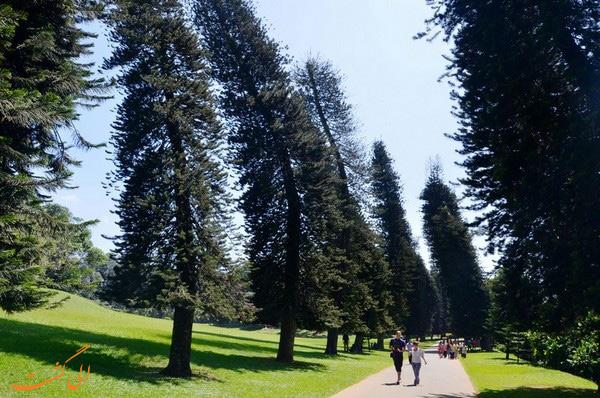 درختان کاج کوک