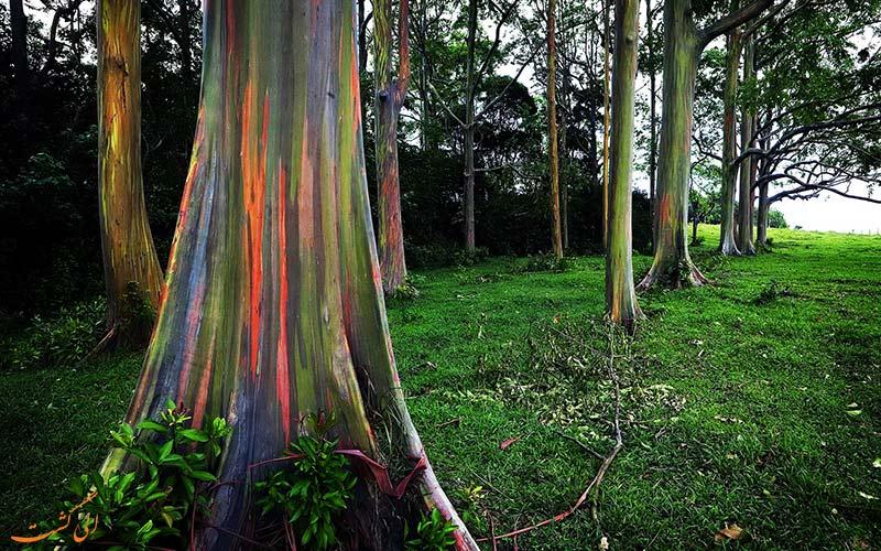درخت اکالیپتوس رنگین کمان
