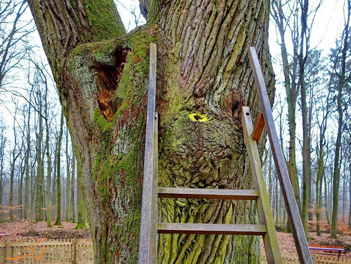 شکاف درخت بلوط