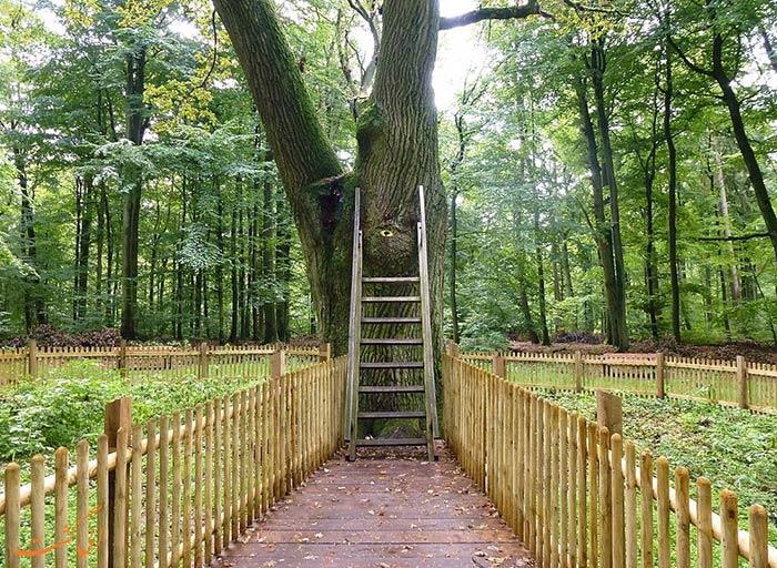 درخت بلوط عروس و داماد آلمان