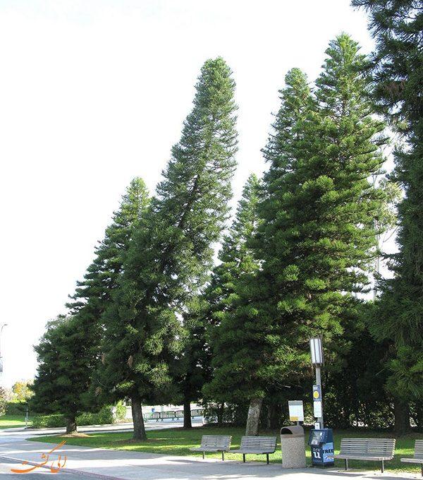 درخت کاج کوک
