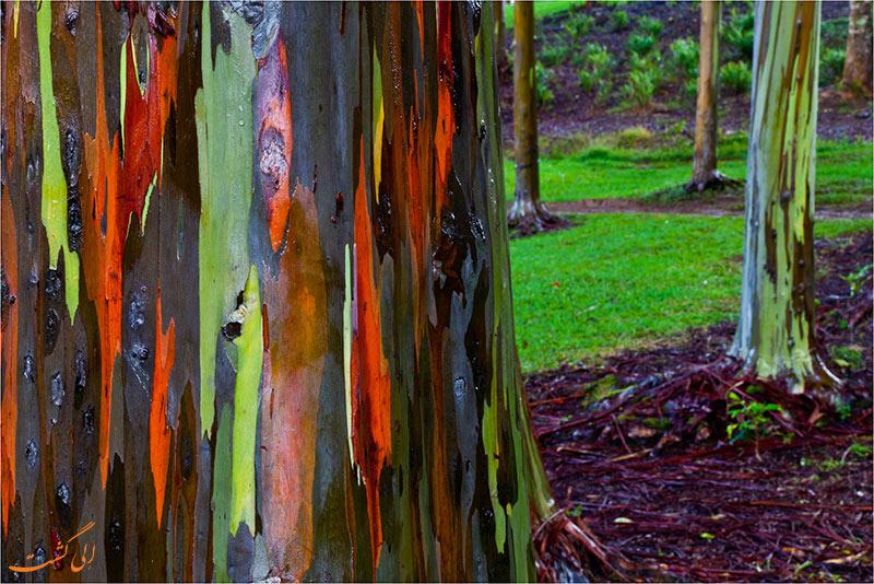 عکس درخت اکالیپتوس رنگین کمانی