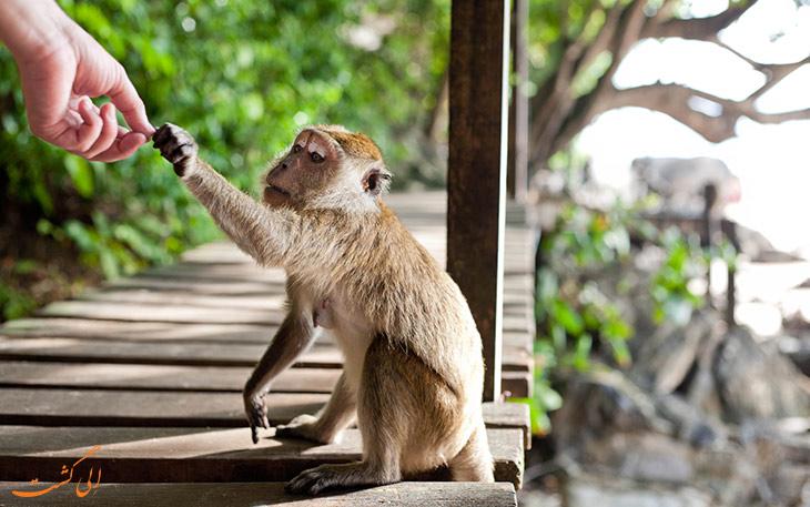 غذا دادن به میمون ها در تایلند