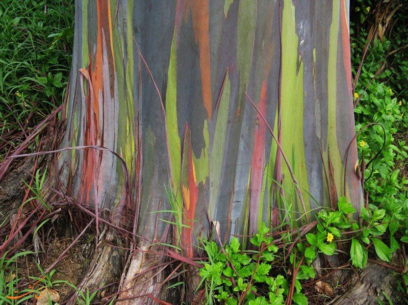 ریشه درخت اکالیپتوس رنگین کمانی