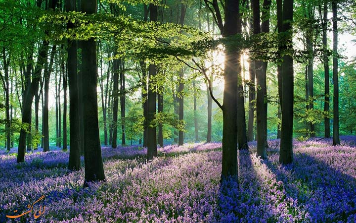 درختان زیبای جنگل هالربوس در بلژیک