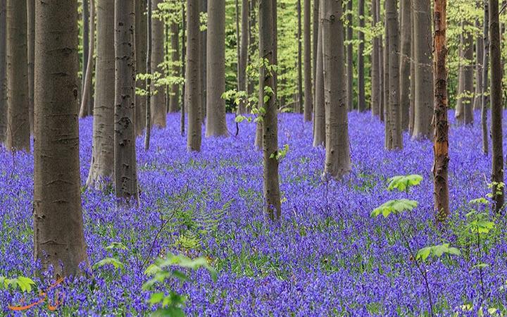 جنگل آبی در بلژیک