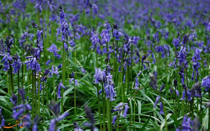 گل های آبی در بلژیک