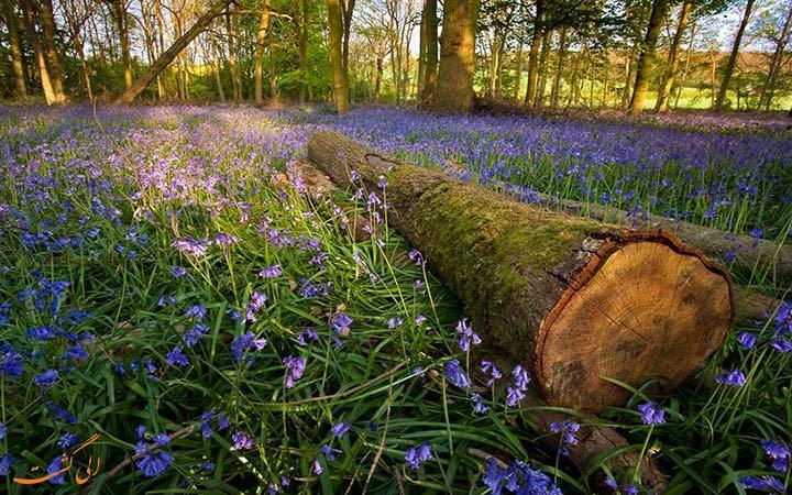 جنگل جذاب هالربوس در بلژیک
