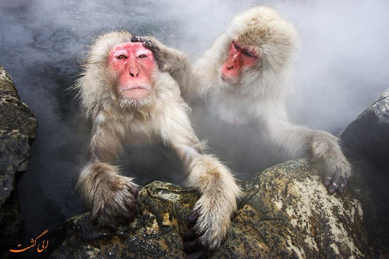 تصاویر میمون های ژاپنی