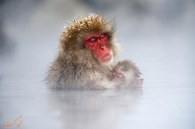 میمون در چشمه آب گرم