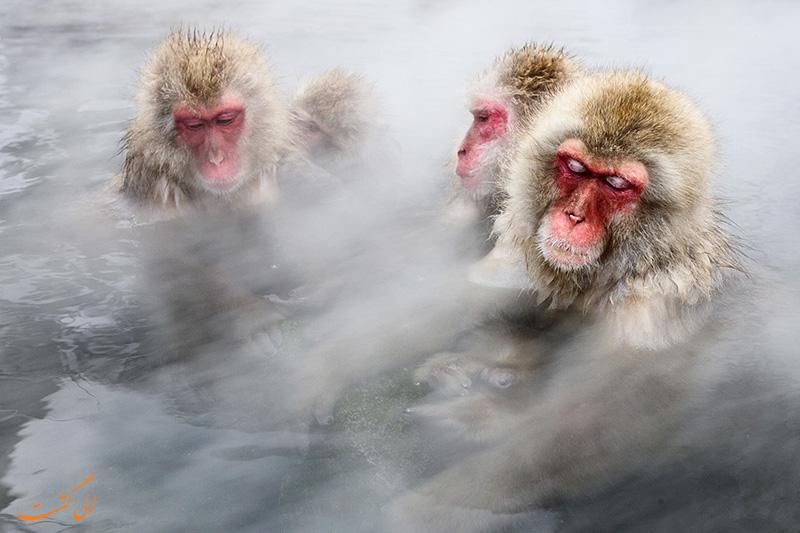 میمون های ژاپنی