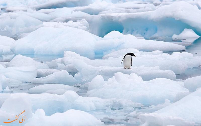 پنگوئن تنها