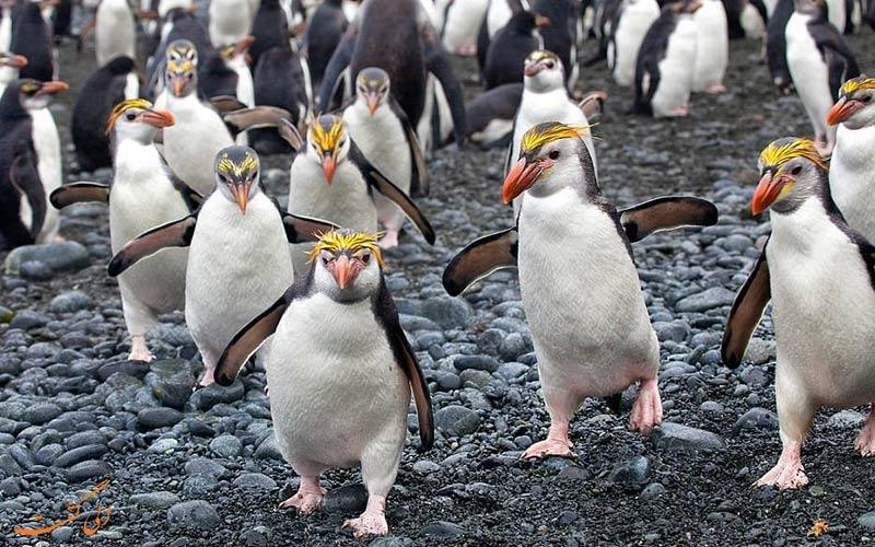 دسته ای از پنگوئن ها