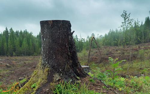 کنده درخت