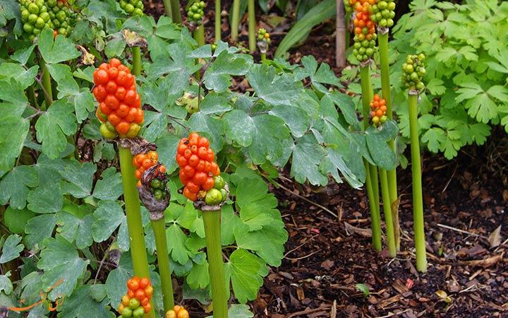 گیاهان سمی باغ آلنویک انگلیس