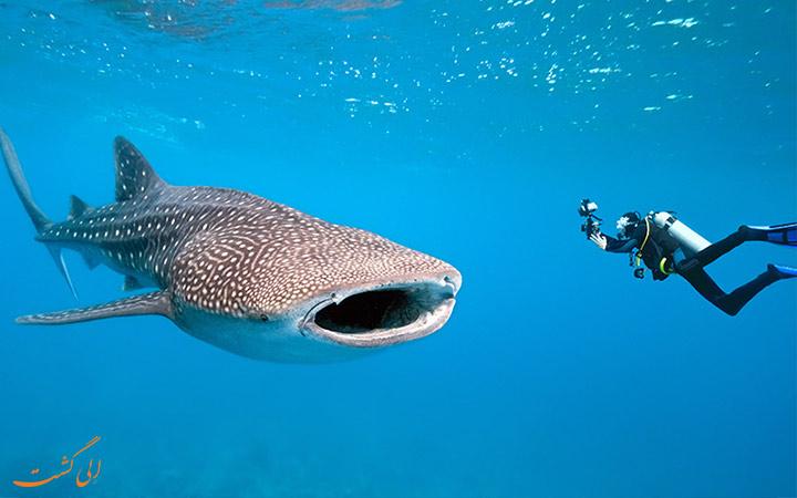 کوسه نهنگ در موزامبیک