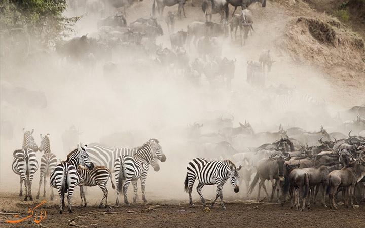 مهاجرت بزرگ گورخرهای آفریقا