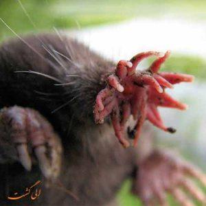 پوزه ستاره ای موش کور