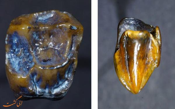 دندان های 10 میلیون ساله
