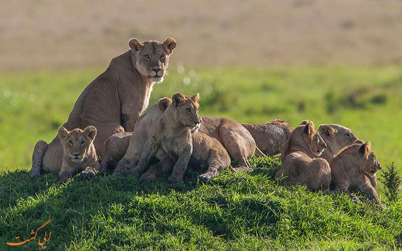 شیر های کنیا