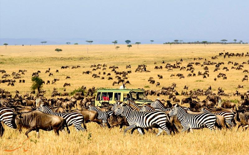 مهاجرت گورخرها در کنیا