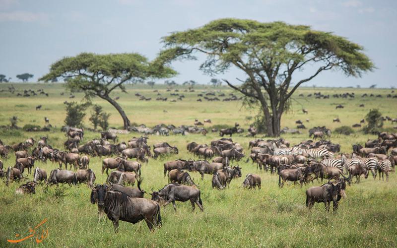 سرنگتی | Serengeti