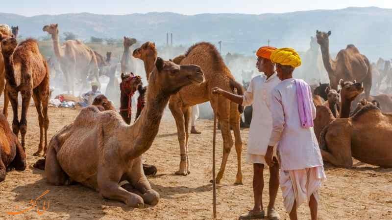 نمایشگاه شتر پوشکار در هند