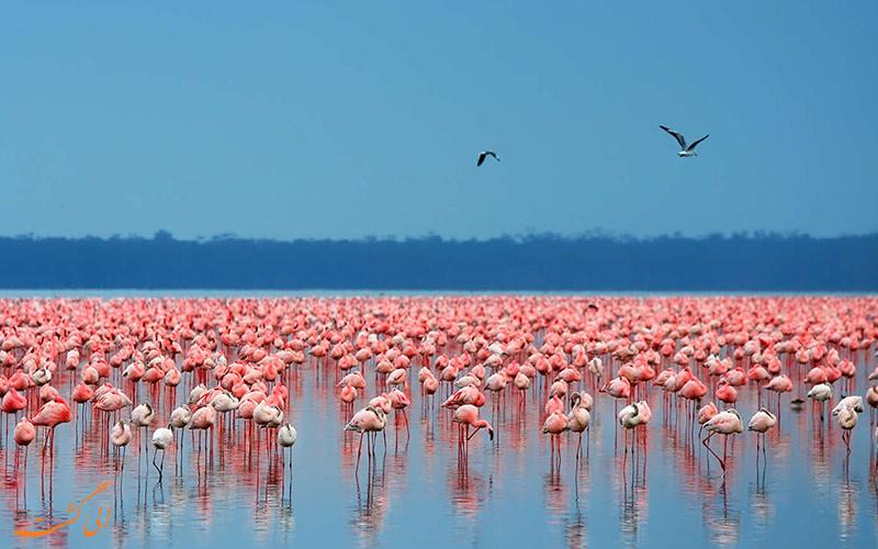 فلامینگوهای دریاچه ناکورو