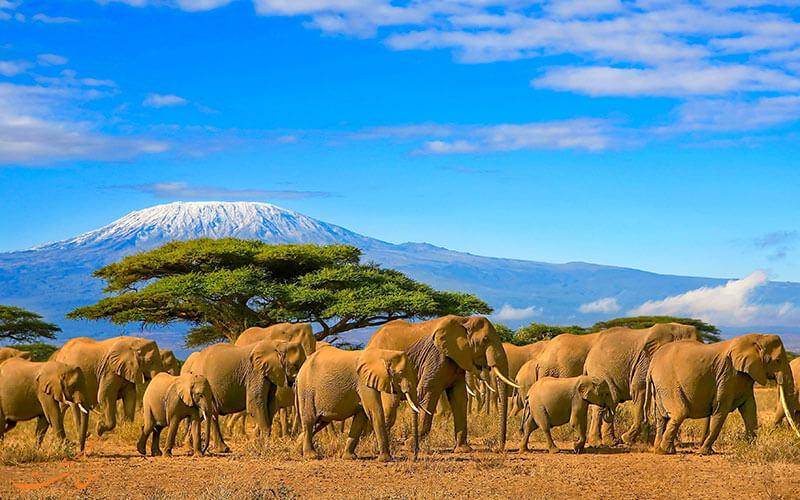حیات وحش کنیا | فیل
