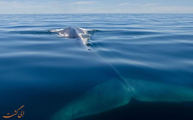 تنهاترین نهنگ دنیا