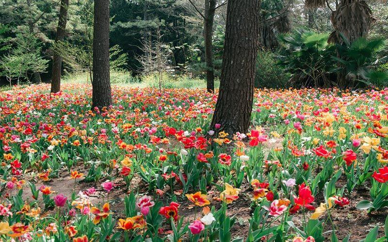باغ گل آرالیا جزیره ججو