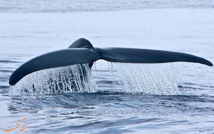 تنهاترین نهنگ زمین