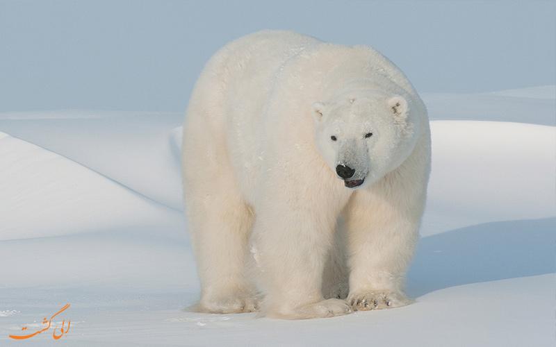 خرس قطبی در قطب شمال