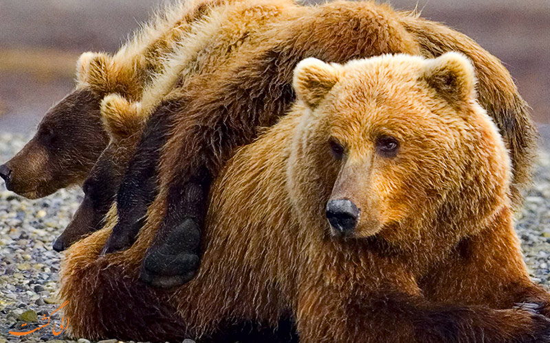 خرس های مهربان کانادایی