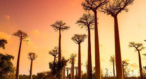 بائوباب- ویدئو جزیره ماداگاسکار
